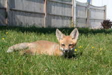 Isaac the red fox