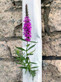 Loosestrife in downspout