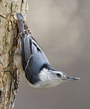 White-Breasted Nuthatch, by Paul J. Weisbach