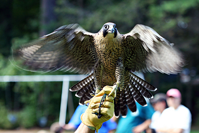 the peregrine falcon essay The peregrine falcon shares its characteristics with 52 other species of falcons in the world five of them are found on the east coast, the american kestrel, the merlin, the prairie falcon, the gyrfalcon, and the peregrine falcon.