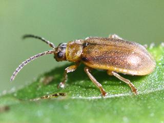 Galerucella beetle