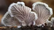 Japanese fan mushrooms