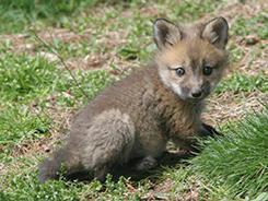 [baby fox]