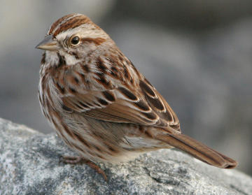 Wclt Nature Notes 4 18 2014 Song Sparrow Singing